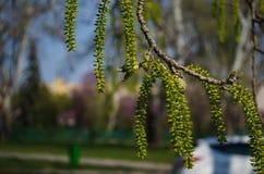 Blomning för björkträd på en Sunny Day royaltyfria foton