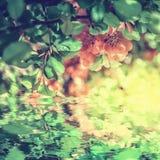 Blomning för blomma för kvitten för blomning för härlig chaenomelesjaponica japansk, vattenreflexion, ljus för eps-mapp för 8 kor Arkivbilder