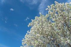 Blomning för blomningBradford Pear träd i vår på Irving, Texas, fotografering för bildbyråer