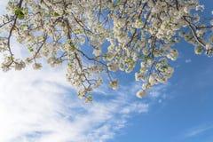 Blomning för blomningBradford Pear träd i vår på Irving, Texas, royaltyfri fotografi