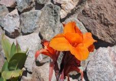 Blomning för Canna lilja Royaltyfri Foto