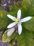 Blomning för citronträd Arkivfoton