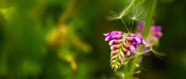 Blomning för fågelvicker i ett gräs Royaltyfri Foto