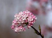 Blomning för filial för Viburnumbodnantenseträd Royaltyfri Fotografi