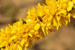 Blomning f?r gul jasmin i v?rtid fotografering för bildbyråer