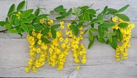 Blomning för guld- kedja på trä Royaltyfri Bild