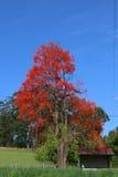 Blomning för Illawarra flammaträd Arkivbild