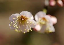 Blomning för japansk aprikos Arkivfoton