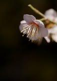 Blomning för japansk aprikos Royaltyfri Foto