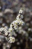 Blomning för körsbärsröd plommon Royaltyfri Foto