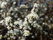 Blomning för körsbärsröd plommon Royaltyfria Foton