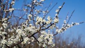 Blomning för körsbärsröd plommon Arkivbild