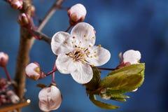 Blomning för körsbärsröd plommon royaltyfria bilder
