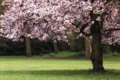 Blomning för körsbärsrött träd Royaltyfri Foto