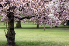 Blomning för körsbärsrött träd Royaltyfria Bilder