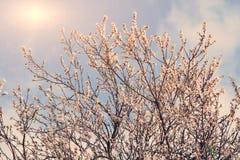 Blomning för körsbärsrött träd Royaltyfri Fotografi
