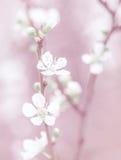 Blomning för körsbärsrött träd Royaltyfria Foton