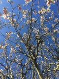 Blomning för körsbärsrött träd för vår Arkivbild