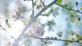 Blomning för körsbärsrött träd med trevliga signalljus stock video