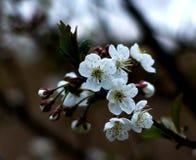 Blomning för körsbärsrött träd på tappningfärg Arkivbild