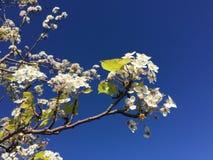Blomning för Kalifornien körsbärunder Fotografering för Bildbyråer