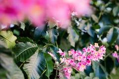 Blomning för kastanjebrunt träd Arkivfoton