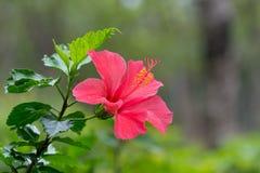 Blomning för Kina rosblomma Arkivbilder