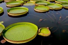 Blomning för Lotus blomma Fotografering för Bildbyråer