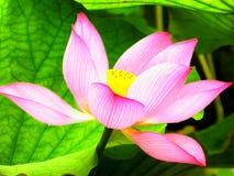 Blomning för Lotus blomma inom den Guyi trädgården Royaltyfria Foton