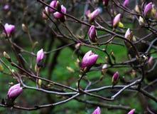 Blomning för magnolialilablomma Trädgård Royaltyfri Fotografi