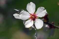 Blomning för mandelträd Royaltyfri Bild