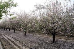 Blomning för mandelträd Arkivfoto