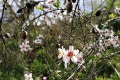 Blomning för mandelträd Royaltyfria Bilder