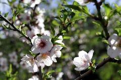 Blomning för mandelträd Arkivbilder