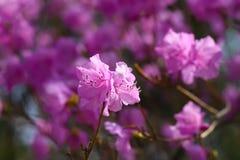 Blomning för närbild för rhododendrondauricum härlig Royaltyfri Fotografi