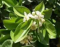 Blomning för orange träd Royaltyfri Foto
