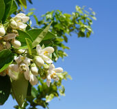 Blomning för orange träd Fotografering för Bildbyråer