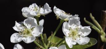 Blomning för päronträd royaltyfria bilder