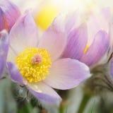 Blomning för Pasque blomma i tidig vår Arkivfoton