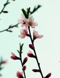 Blomning för persikaträd Arkivfoton