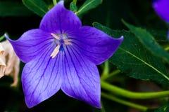 Blomning för purpurfärgad klematis arkivbild