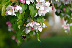 blomning för Röd-jade äppleträd Arkivbilder