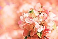 Blomning för rosa färger för vårblommaslut upp - Arkivfoton