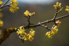 Blomning för skogskornell (Cornusmas) Royaltyfri Foto