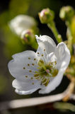 Blomning för skogskornellträd Arkivfoton