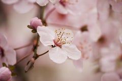 Blomning för träd för körsbärsröd plommon Arkivbilder