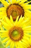 Blomning för två solros. Royaltyfria Bilder