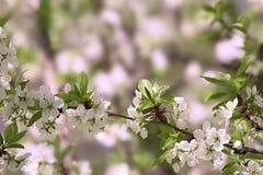 Blomning för vår för ärtaträd, härlig vårbakgrund Royaltyfri Foto