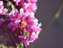 Blomning för vårrosa färgblomma från träd Fotografering för Bildbyråer
