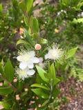 Blomning för vit blomma arkivfoto